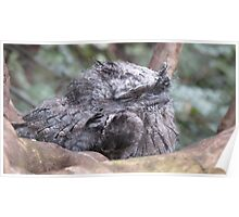 Sleeping Tawny Frogmouth Poster
