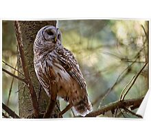 Barred Owl in Pine Tree - Brighton Ontario Poster