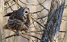 Barred Owl with Prey - Brighton, Ontario by Michael Cummings