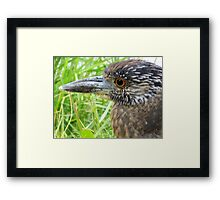 Juvenile Yellow-Crowned Night Heron Framed Print