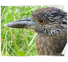 Juvenile Yellow-Crowned Night Heron Poster