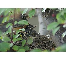Nesting Robins Photographic Print
