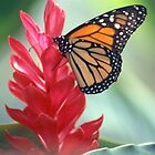 Monarch Butterfly on Red by Henry Beeker