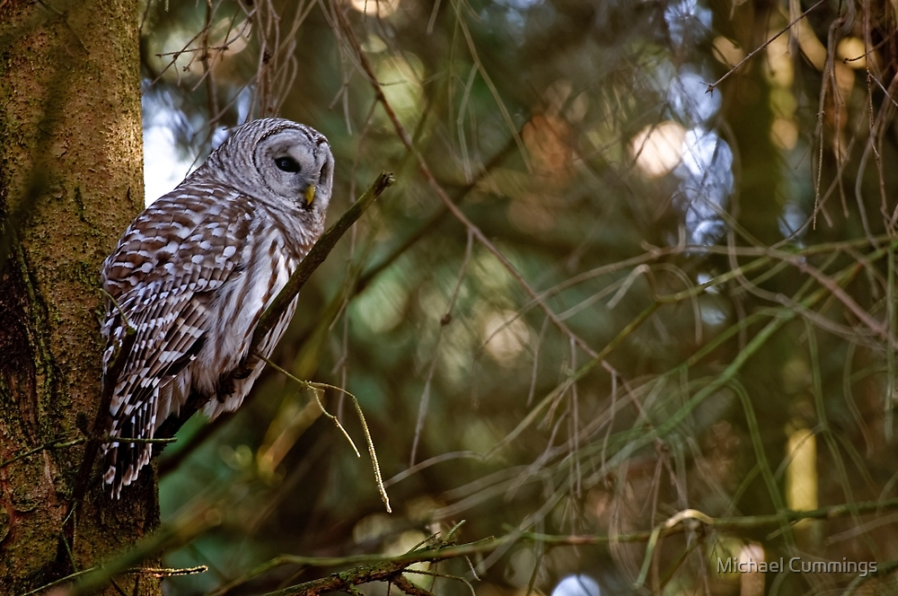 Barred Owl - Brighton, Ontario by Michael Cummings
