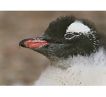 Gentoo Chick Photographic Print