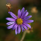 Purple Daisy by amykphotography