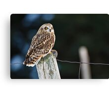 Short Eared Owl  Canvas Print