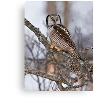 Northern Hawk Owl on branch Canvas Print