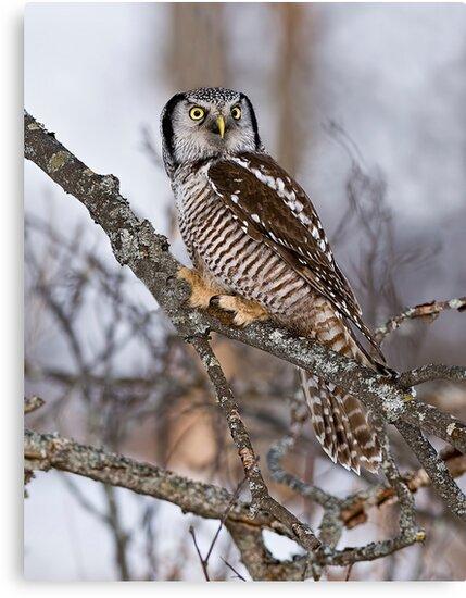 Northern Hawk Owl on branch by Michael Cummings