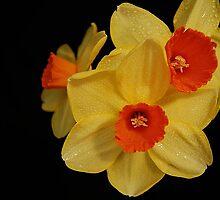 Daffodil by terrylazar