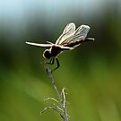 dragonfly on green by Troy Spencer