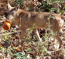 Wolf and Pumpkin by Carol Bock