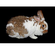 California Giant Bunny Photographic Print