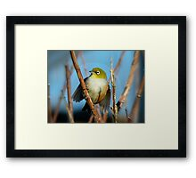 Nature's Porthole... Silver-Eye - NZ Framed Print