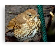 Well... Turn The Tap On... - Song Thrush - NZ Canvas Print