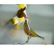Great... Nectar From A Teat!!! - Silver-Eyes - NZ Photographic Print