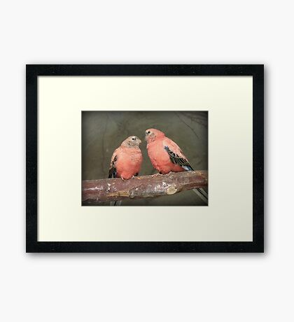 Our Adoration Speaks Volumes - Bourke Parrots - NZ Framed Print