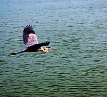 Heron in Flight by DRCP