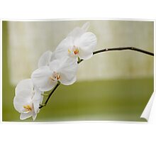 "Phalaenopsis ""Brother White Windian"" Poster"