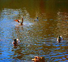 DUCKS.  by ccrcats
