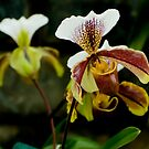 "Paphiopedilum Olympus ""The Chairman"" by Michael Cummings"
