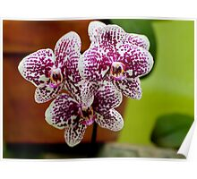 "Phalaenopsis ""Everspring Fairly"" Poster"