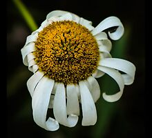 Top-Down Flower, Expiring by Nicole Petegorsky