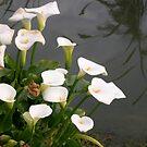 Marsh lilies by oiseau