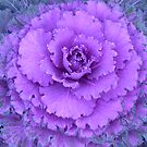 Decorative Cabbage by oiseau