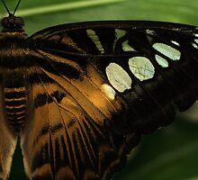 Butterfly by Luke Haggis