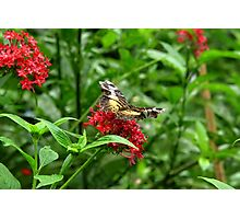 Butterfly on Red Flowers Photographic Print