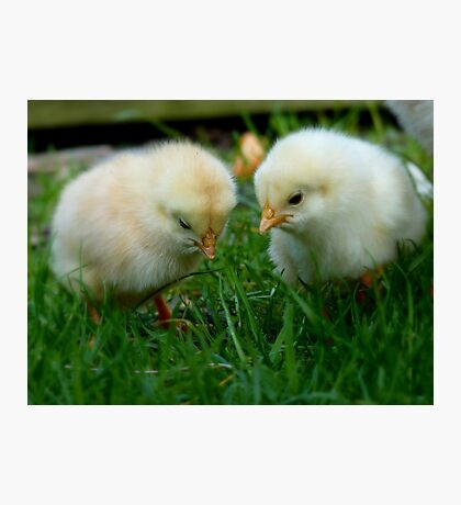 Can You See It? - Day Old Chicks - NZ Photographic Print