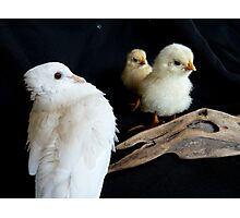 NO!...Oh No... I'm Not Baby Sitting Those!!! - Dove & Chicks - NZ Photographic Print