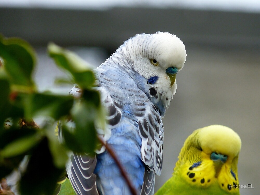 Get The Message!! - Budgerigar - NZ by AndreaEL
