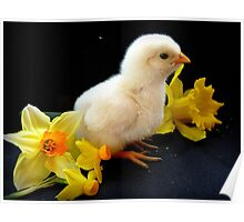 I'm A Little Daffodil Joy - Sussex Chick - NZ Poster