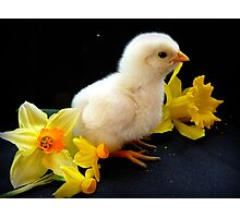 I'm A Little Daffodil Joy - Sussex Chick - NZ Photographic Print