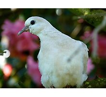 I Come In Peace! - Wild Dove - NZ Photographic Print