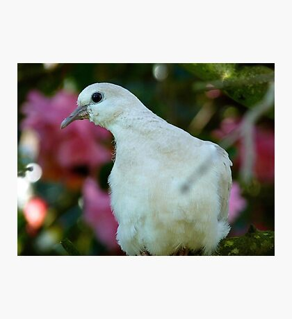 I Come In Peace! - Wild Dove - NZ Photographic Print