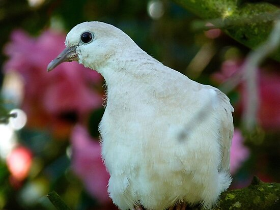 I Come In Peace! - Wild Dove - NZ by AndreaEL