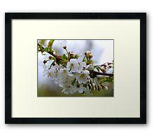 Pear Blossoms - NZ Framed Print