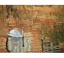 Swan on River Aire Photographic Print