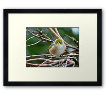 Aww...Don't Be Sad... We Will Be Back - Silver-Eye - NZ Framed Print