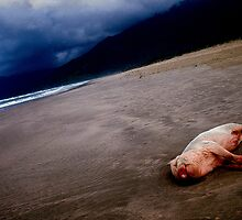 Pig on the beach,Lang co,Vietnam by nick pautrat