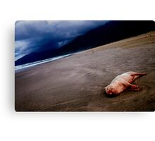 Pig on the beach,Lang co,Vietnam Canvas Print