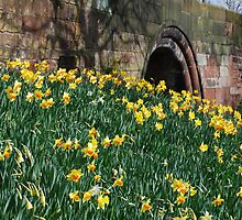 daffodils under the arches by Mike Davitt