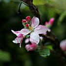 Apple Blossoms by Barbara Gordon