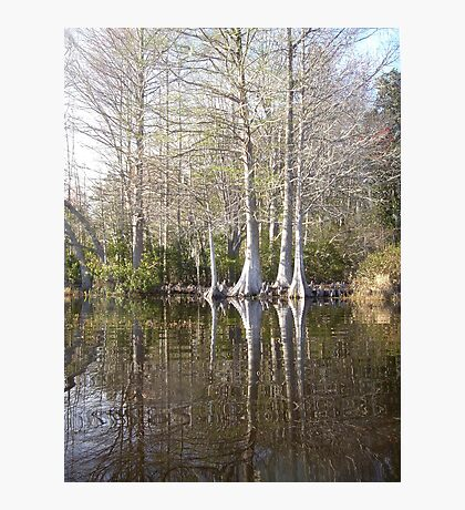 Silver Trees and Knees Photographic Print