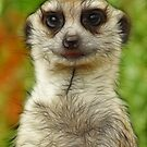 Meerkat by Lorraine Deroon