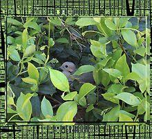 Hidden Dove by rasama