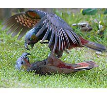 Do You Give Up Yet!!! - Kaka Parrot - Stewart Island Photographic Print